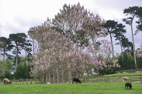 Paulonia Cornwall Park Auckland New Zealand - 22 Oct 2006