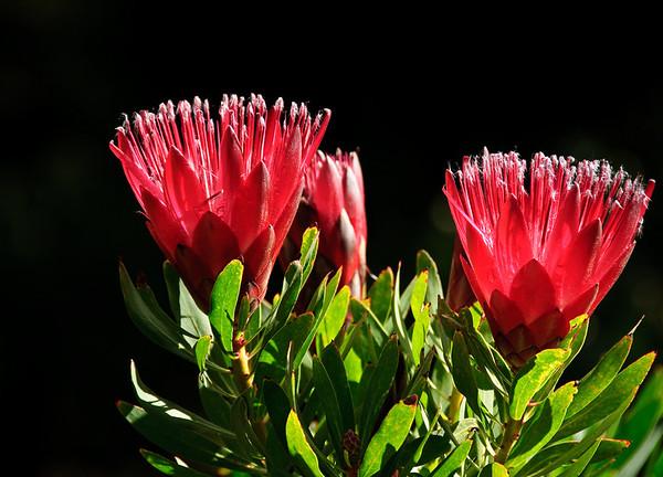 Proteas Eden Gardens Auckland