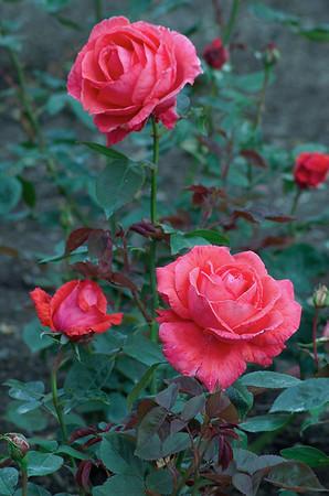 Roses Hamilton Gardens Hamilton New Zealand - 4 Nov 2006