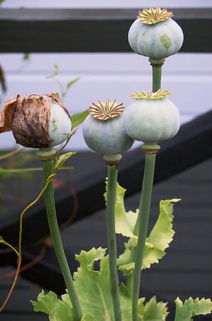 Poppies Heather's Place Hamurana Rotorua New Zealand - 8 Jan 2007