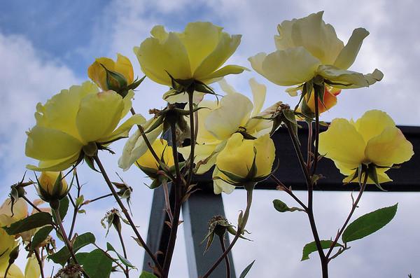 Yellow roses Heather's Place Hamurana Rotorua New Zealand - 8 Jan 2007