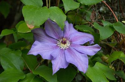 Clematis Hollard Gardens Kaponga Taranaki New Zealand - 28 Oct 2006