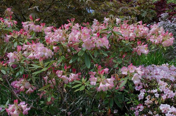 Rhododendrons Hollard Gardens Kaponga Taranaki New Zealand - 28 Oct 2006