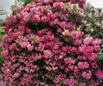 Pink rhododendrons Hopkirk Gardens Taranaki New Zealand - 31 Oct 2006