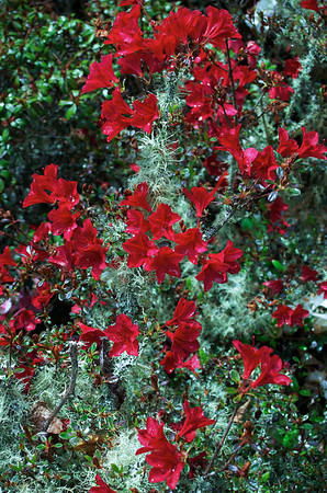 Red rhododendrons Hopkirk's Gardens Taranaki New Zealand - 30 Oct 2006