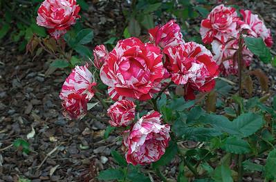 Twist n Twirl - hybrid tea flower Parnell Rose Gardens Auckland New Zealand - 11 Nov 2006