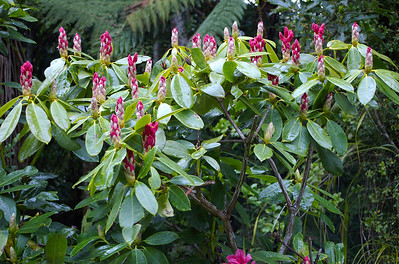 Rhododendron buds Pukeiti Taranaki New Zealand - 27 Oct 2006