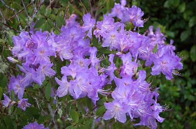 Purple rhododendron Pukeiti Taranaki New Zealand - 27 Oct 2006