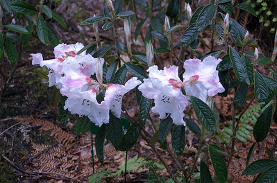 R. edgeworthii rhododendron - China Pukeiti Taranaki New Zealand - 27 Oct 2006
