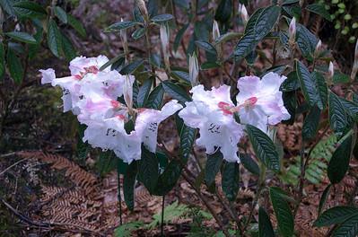 R. edgeworthii rhododendron - China Pukeiti Taranaki New Zealand - 27 Oct 2006
