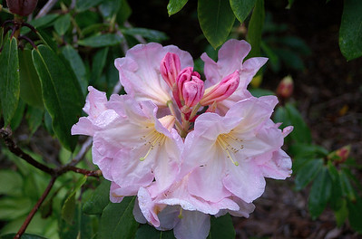 Pink rhododendron Pukeiti New Zealand - 27 Oct 2006