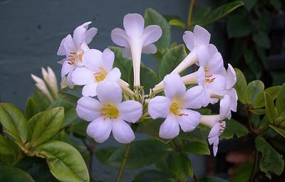 White vireyas Pukeiti Taranaki New Zealand - 27 Oct 2006