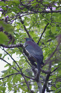 Kereru - native wood pigeon Pukeiti Taranaki New Zealand - 27 Oct 2006