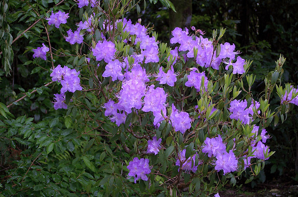 Purple rhododendrons Pukeiti Taranaki New Zealand - 27 Oct 2006