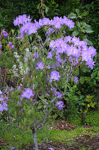 Purple rhododendron Pukeiti Taranaki New Zealand - 27 Oct 2006