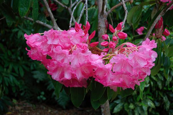 Pink rhododendron Pukeiti Taranaki New Zealand - 27 Oct 2006