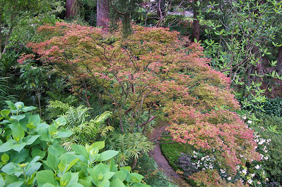 Japanese maple Tupare New Plymouth New Zealand - 27 Oct 2006