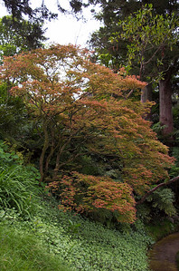 Japanes maple Tupare New Plymouth New Zealand - 27 Oct 2006