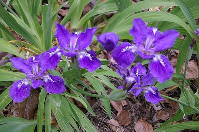 Irises Tupare New Plymouth New Zealand - 27 Oct 2006