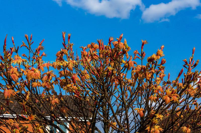 Bronze spring growth on a suburban tree