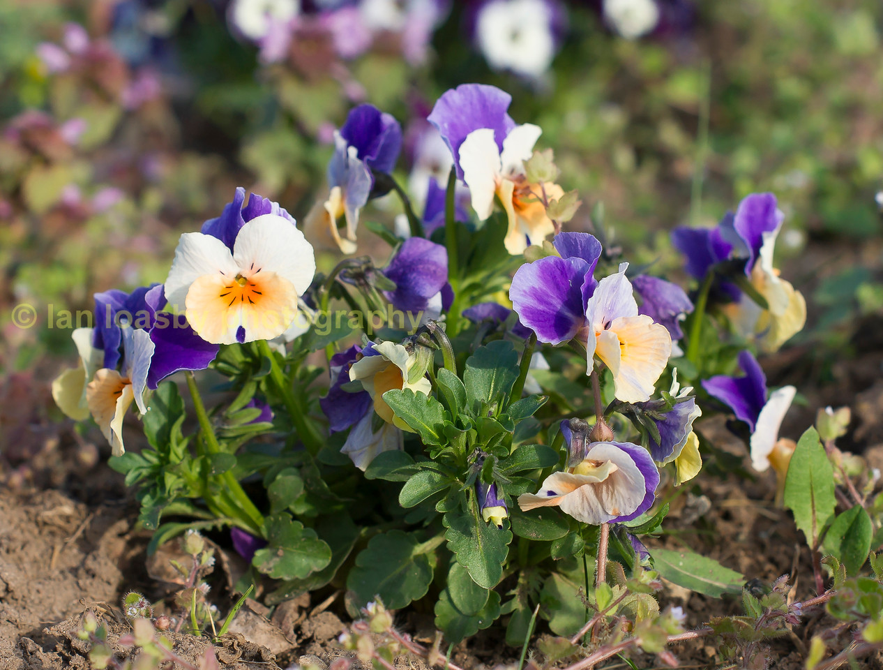 Multi coloured common pansy's