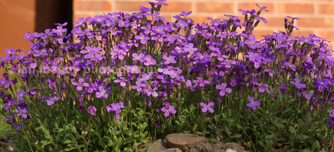 Purple Labellia