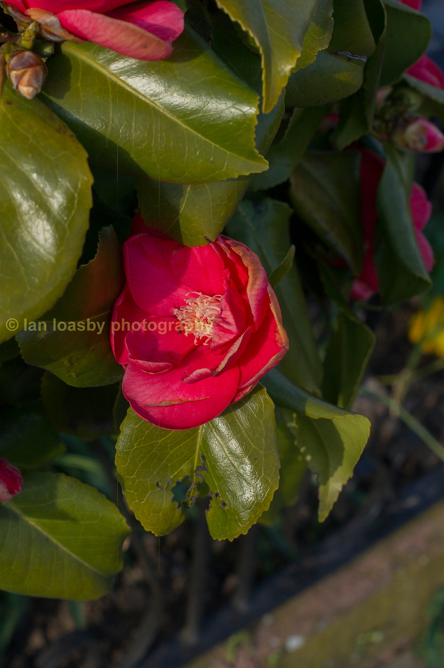 A camellia in flower
