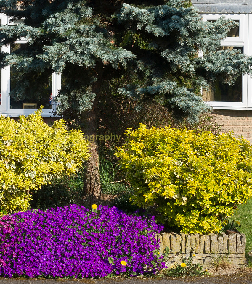 Purple labellia with evergreen shrubs and tree