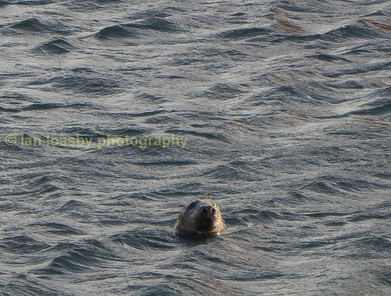 Common seal in the harbour at Fraserborough