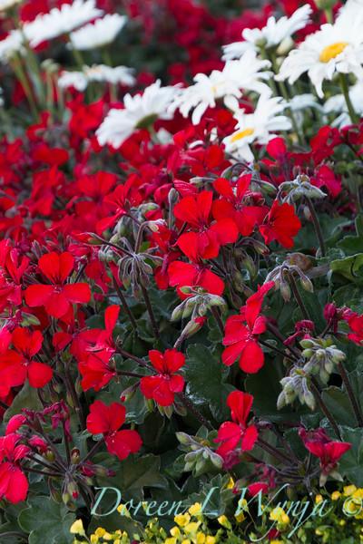 'Cante Fir09'; 'Daisy Duke'; Amazing Daisies; Daisy May; Daisy May®; Fire; GAP PHOTOS; Geranium; Leucanthemum; Leucanthemum superbum; Pelargonium; Pelargonium hybrid; Shasta Daisy; Timeless; Timeless™