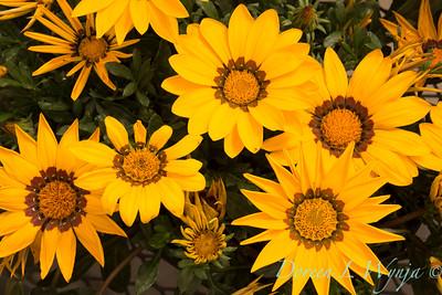 Gazania 'Yellow' New Day_6303