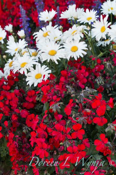 'Cante Fir09'; 'Daisy Duke'; Amazing Daisies; Amazing Daisies™; Daisy May; Daisy May®; Fire; GAP PHOTOS; Geranium; Leucanthemum; Leucanthemum superbum; Pelargonium; Pelargonium hybrid; Shasta Daisy; Timeless; Timeless™