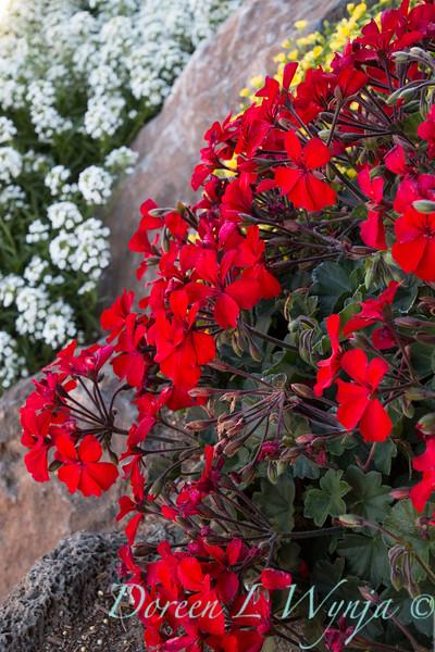 'Cante Fir09'; Fire; GAP PHOTOS; Geranium; Pelargonium; Pelargonium hybrid; Timeless; Timeless™