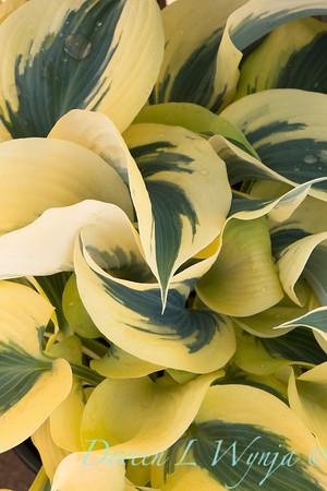 'Autumn Frost'; GAP PHOTOS; Hosta; Hosta hybrid; Plantain Lily; Shadowland; Shadowland™