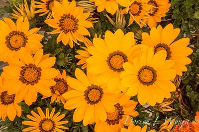 Gazania 'Yellow' New Day_6306