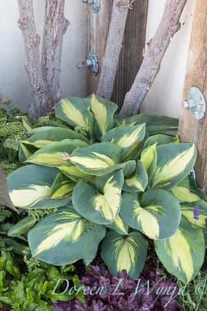 'Hudson Bay'; GAP PHOTOS; Hosta; Hosta hybrid; Plantain Lily; Shadowland; Shadowland™