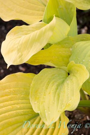 'Coast to Coast'; GAP PHOTOS; Hosta; Hosta hybrid; Plantain Lily