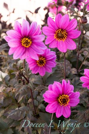 'G13532'; Dahlia; Dahlia variabilis; Dahlightful; Dahlightful™; Lively Lavender