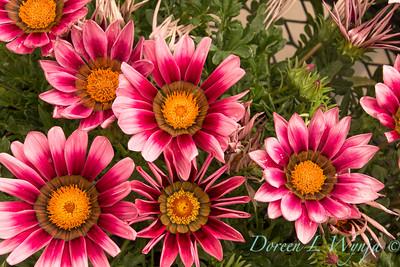 Ball Hort; California Spring Trials; Gazania; New Day; New Day®; PanAmerican Seed; Pink Shades