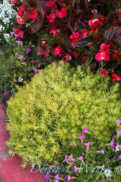'Lemon Coral'; Begonia; Begonia benariensis; GAP PHOTOS; Lemon Coral; Sedum; Sedum mexicanum; Surefire Rose; Surefire®