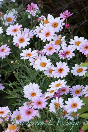 'Argymip'; Argyranthemum; Argyranthemum frutescens; GAP PHOTOS; Marguerite Daisy; Molimba Pink