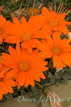 Gazania 'Clear Orange' New Day_6296