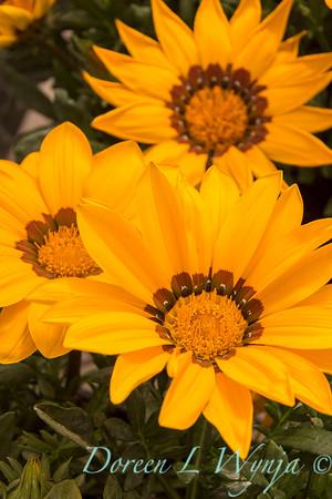Gazania 'Yellow' New Day_6304
