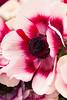 Anemone; Anemone coronaria; bicolor; Mona Lisa; Mona Lisa®; Wine White