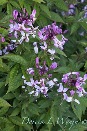 'Inncleosr'; attracts birds; attracts butterflies; Cleome; Cleome hybrid; GAP PHOTOS; Heat Tolerant; Senorita Rosalita; Senorita Rosalita®; Spider Flower
