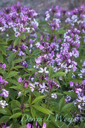 'Inncleosr'; Cleome; Cleome hybrid; GAP PHOTOS; Heat Tolerant; Senorita Rosalita; Senorita Rosalita®; Spider Flower