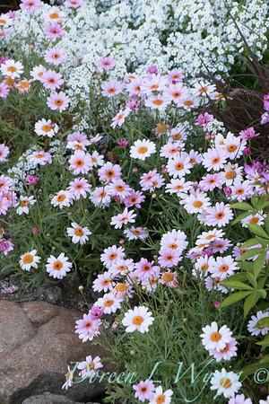 'Argymip'; 'Inlbusnopr'; Alyssum; Argyranthemum; Argyranthemum frutescens; GAP PHOTOS; Lobularia; Lobularia hybrid; Marguerite Daisy; Molimba Pink; Snow Princess; Snow Princess®; Sweet Alyssum