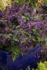 Salvia 'Amistad'_0819
