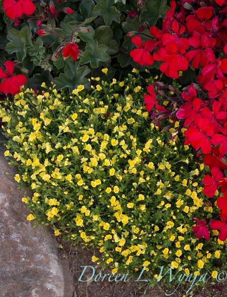 'Cante Fir09'; 'USMECA8205'; Amazing Daisies; Daisy May; Daisy May®; Fire; GAP PHOTOS; Geranium; GoldDust; GoldDust®; Leucanthemum; Mecardonia; Mecardonia hybrid; Pelargonium; Pelargonium hybrid; Shasta Daisy; Timeless; Timeless™