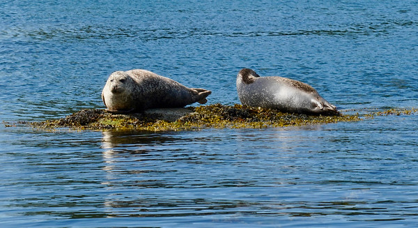 Seals in Bantry Bay